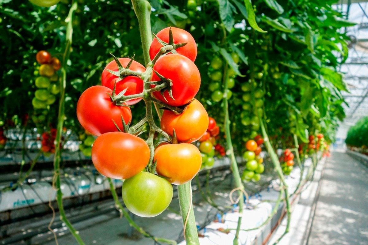 помидоры под зиму в теплицу
